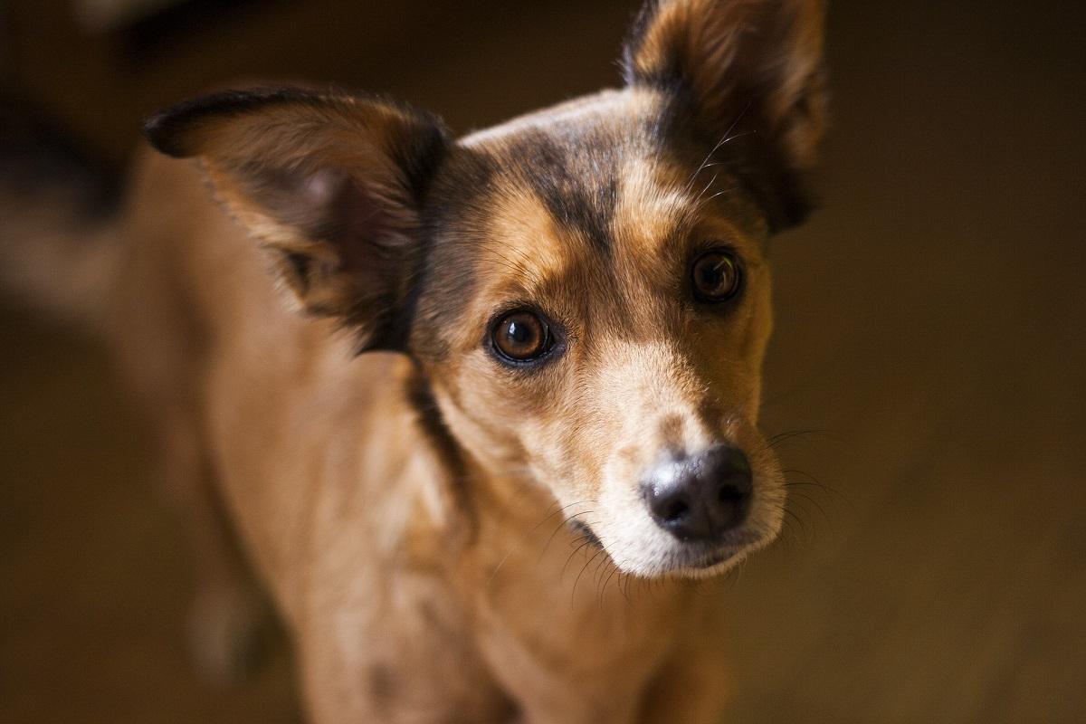 comprar o adoptar perro