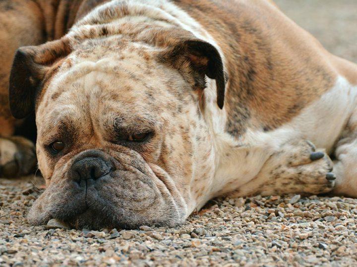 ¿Cómo saber mi mascota ha sido envenenada?