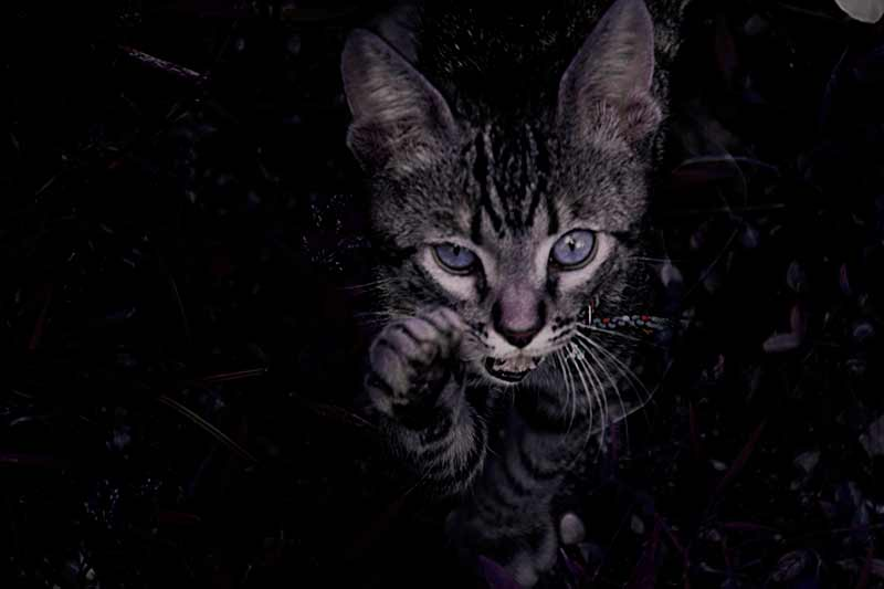 gato-jugando