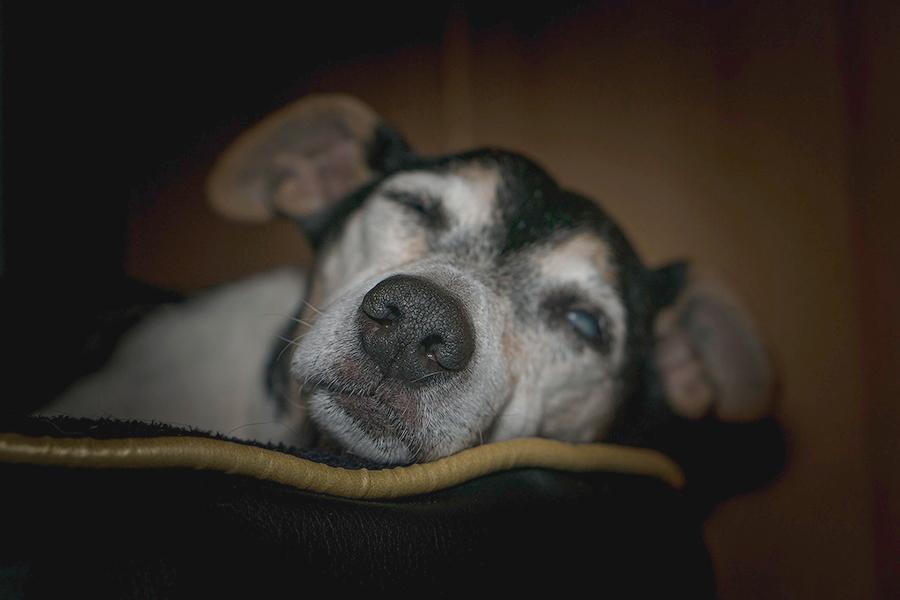 perro-viejo-3