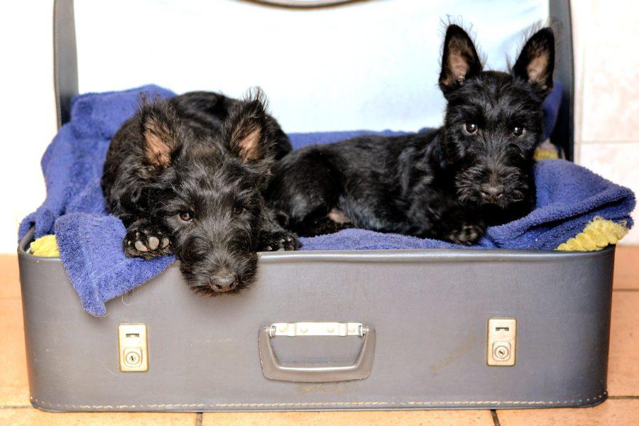 perros_maleta