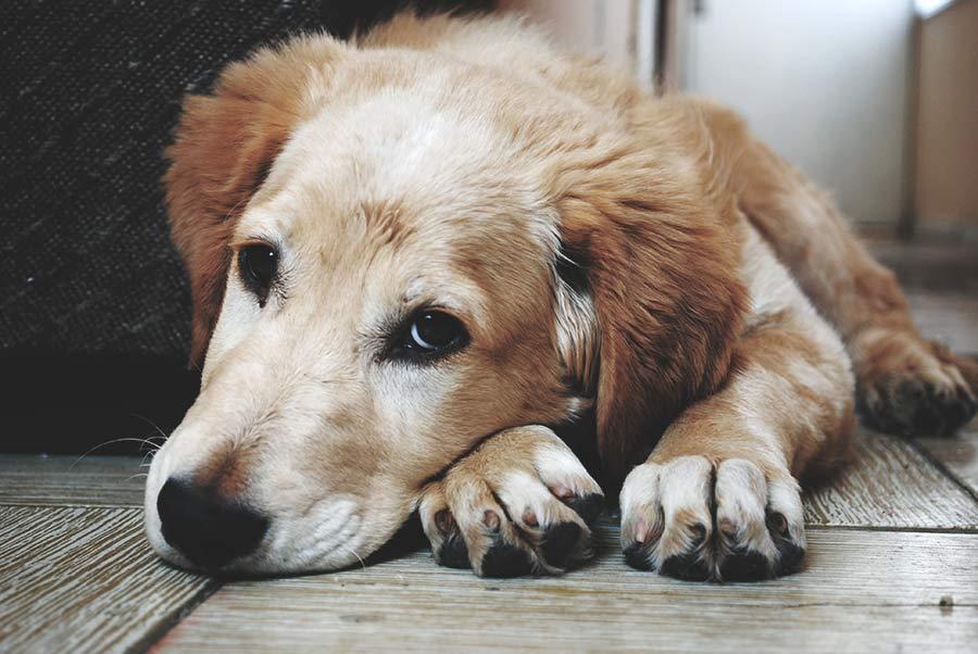 perro tumbado aburrido