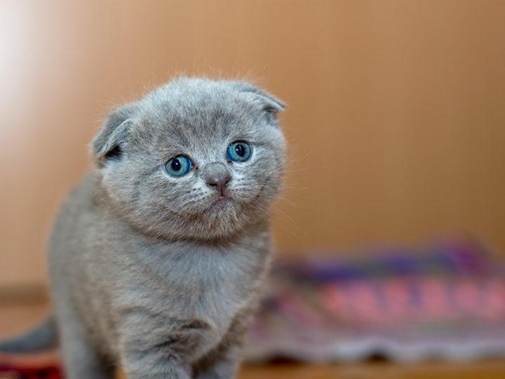 Panleucopenia felina, mortal enemigo de los gatos