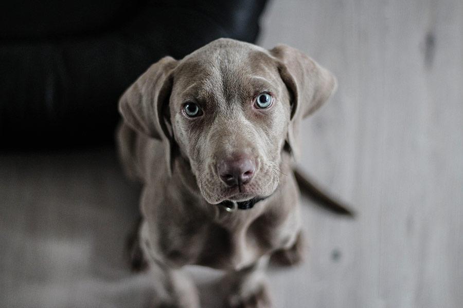adenocarcinoma de próstata en perros significado