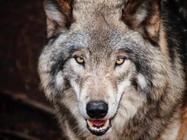 lobo_origen-perros