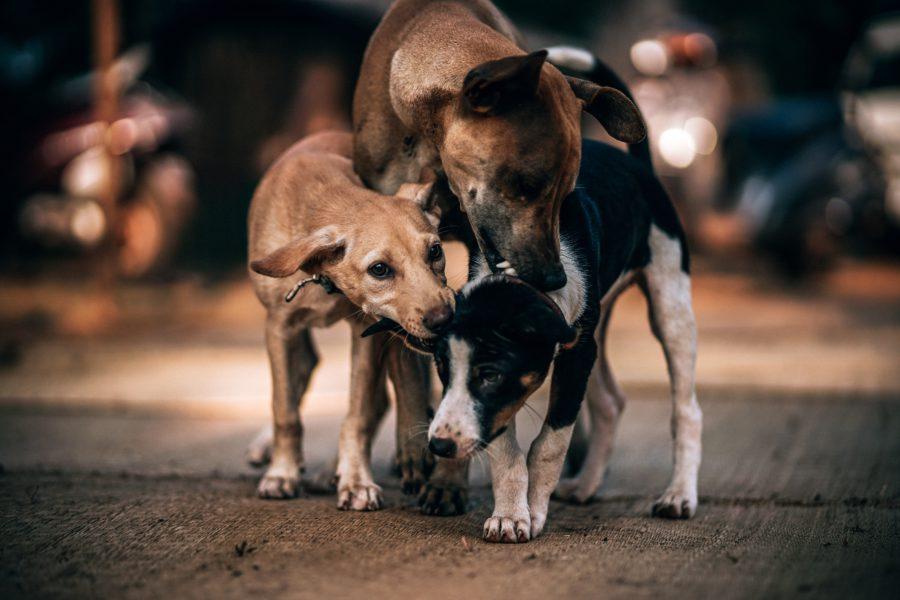 sarna-perros-contagio