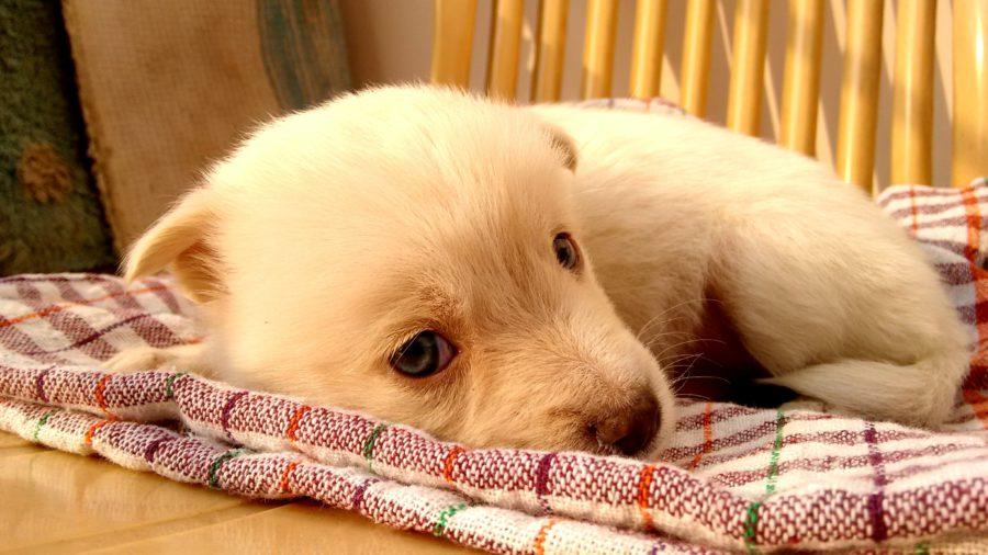 fiebre en perros (3)
