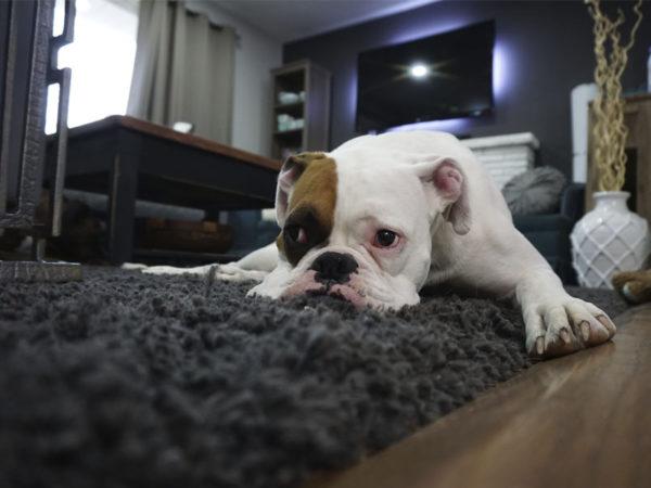 Perro solo en casa: Consejos para evitar el desastre
