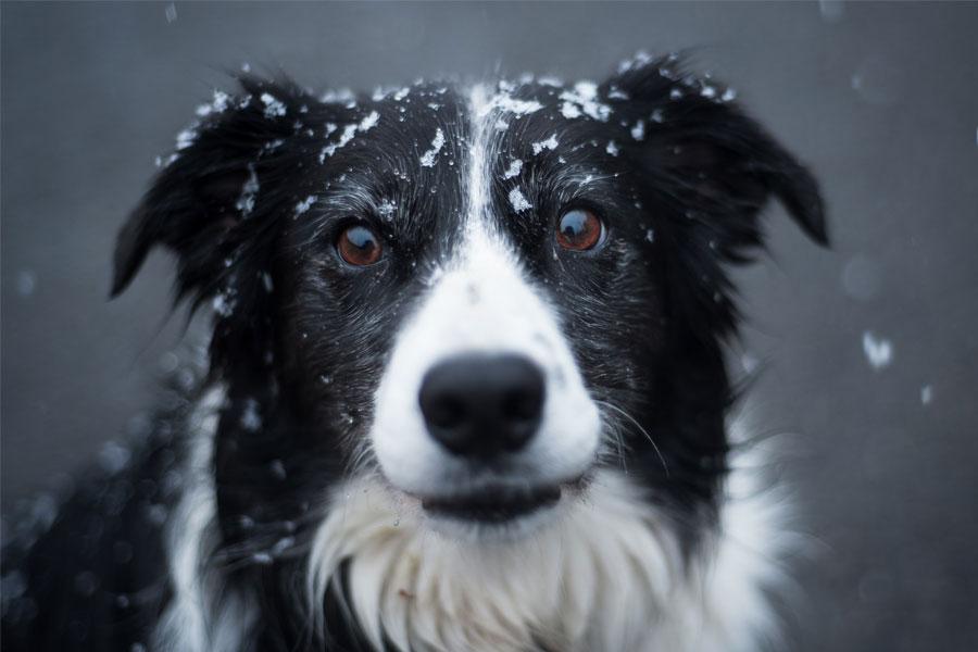 Ranking de Inteligencia canina: ¿Cuáles son las razas de perros más inteligentes?