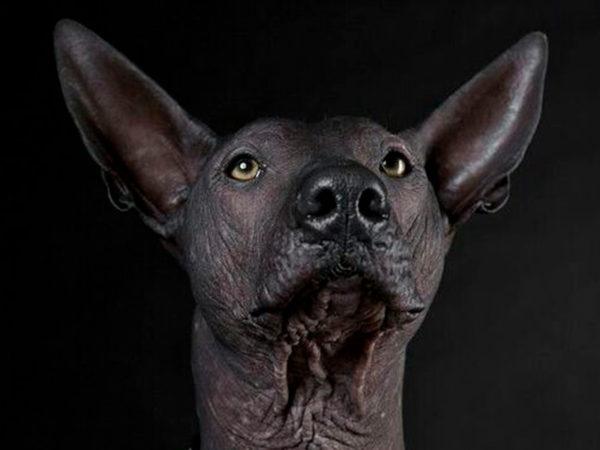 Razas de perro sin pelo: Cuando tu perro no tiene ni un pelo de tonto