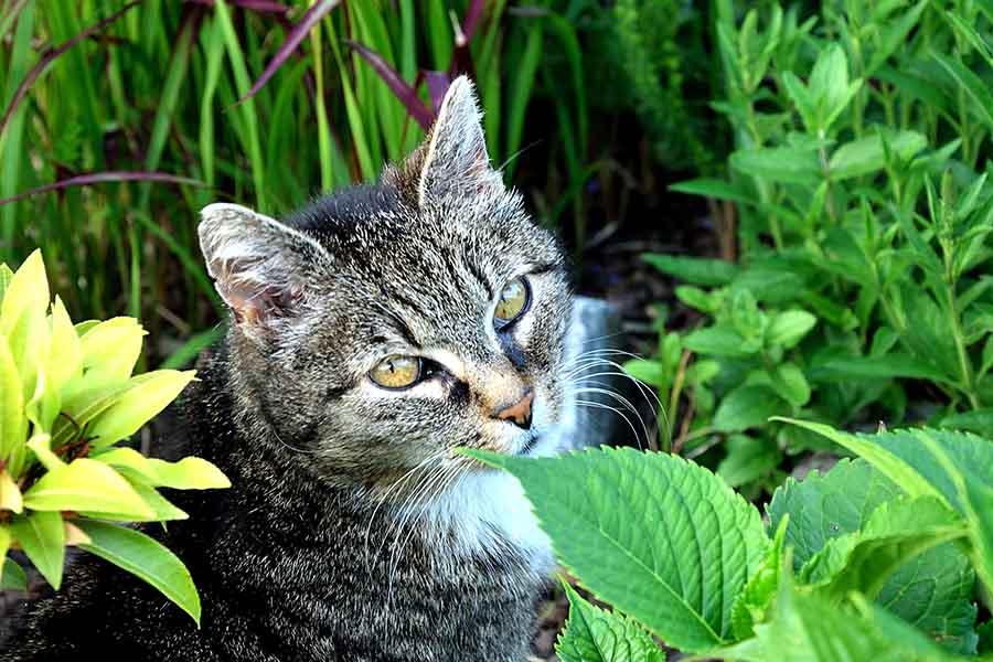 Catnip: qué es, cuáles son sus efectos y por qué les gusta tanto a los gatos