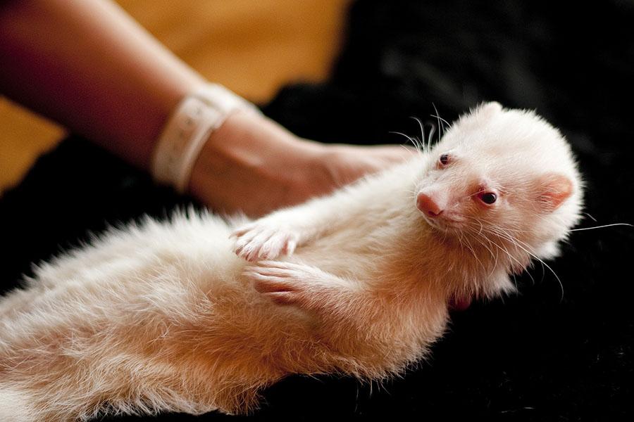 Características y cuidados del hurón albino