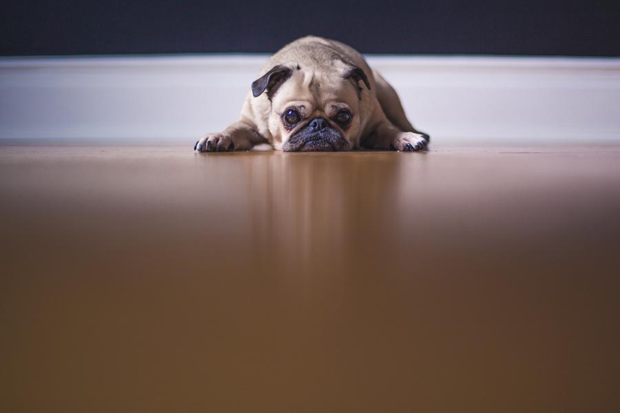 La vacunación en perros: vacuna polivalente, obligatorias y opcionales